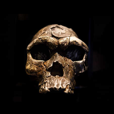 Early human skull against black background