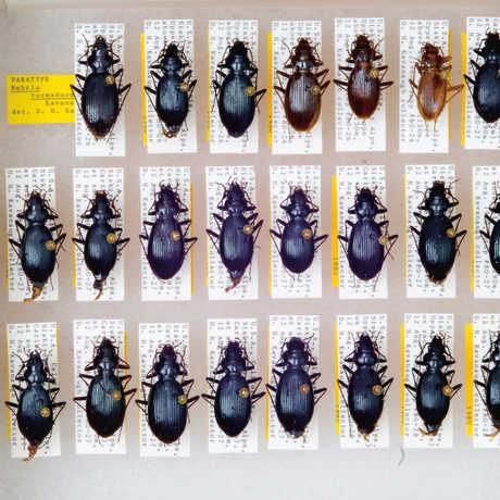 Pinned Nebria turmaduodecima beetles