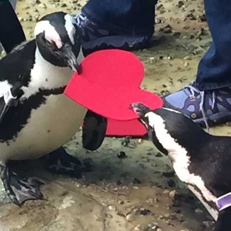 Penguins holding a red heart