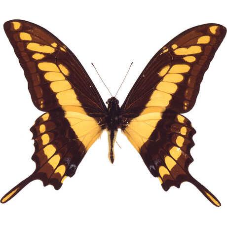 Butterfly A-B