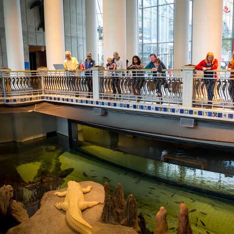 Members watch Claude the albino alligator