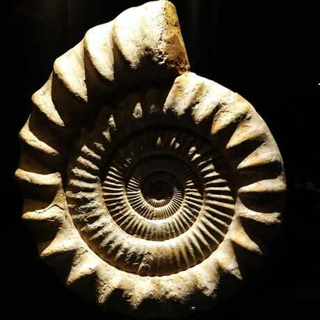 Ammonite fossil against black background