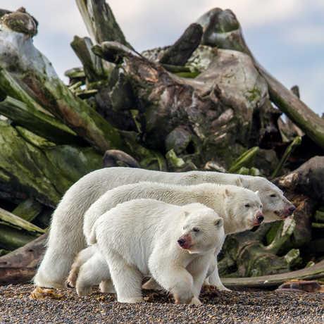 3 polar bears in front of giant whale bones. Photo by Daniel Dietrich
