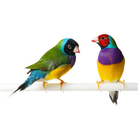2 colorful Gouldian finches perch against a white backdrop