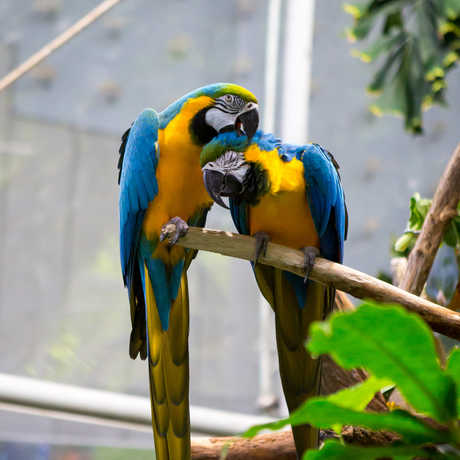 2 colorful macaws preening each other