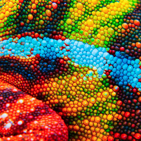 Macro photo of bumpy-textured, multi-colored chameleon skin