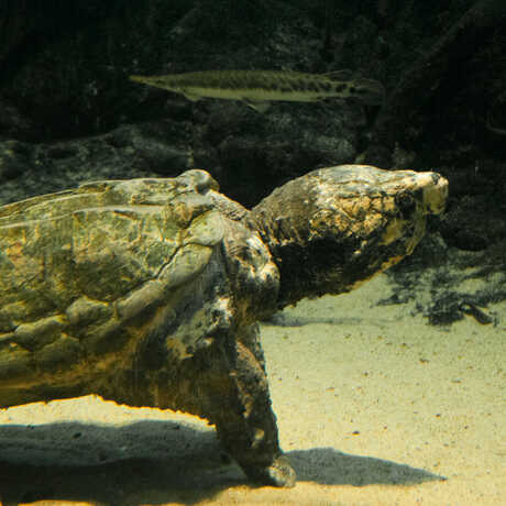 An enormous alligator snapping turtle walks along the sandy bottom of the Swamp exhibit.
