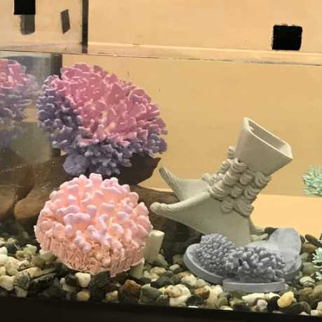Color-changing coral in an aquarium tank for a science demonstration.