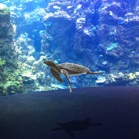 An augmented reality sea turtle swims in front of the Philippine Coral Reef