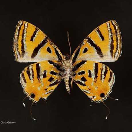 Catapaecilma evansi (Lycaenidae) Philippines