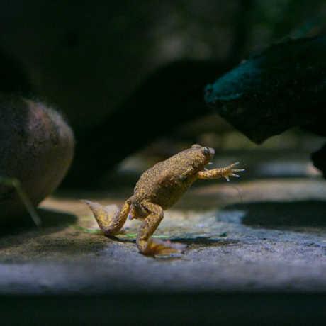 Lake Oku Clawed Frog on exhibit; Photo © California Academy of Sciences