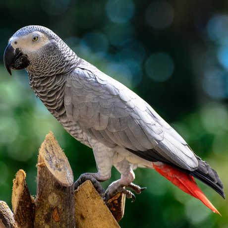 Principe parrot