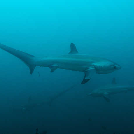 Thresher sharks in the Philippines