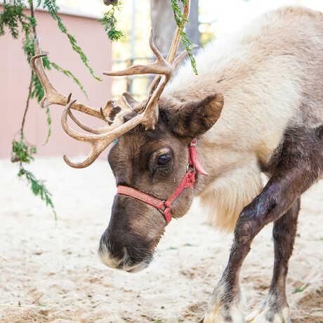 2 antlered reindeer graze in the Academy East Garden