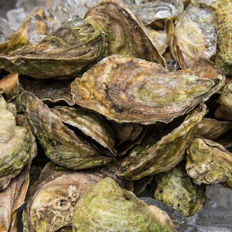 Eastern oysters