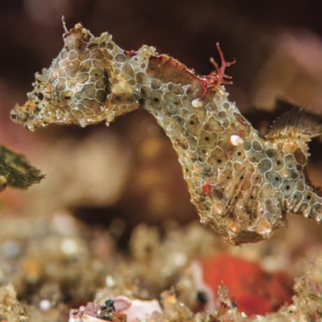 Hippocampus japapigu [© Richard Smith]