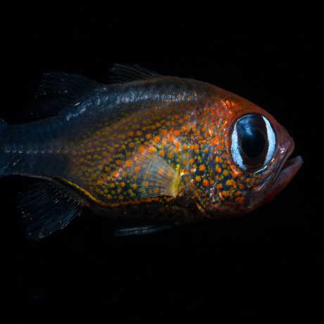 Siphamia arnazae [© 2019 Mark Erdmann]
