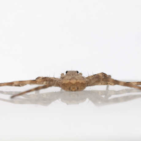 Flattie spider © 2015 Dr. Yu Zeng