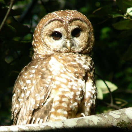 spotted owl image