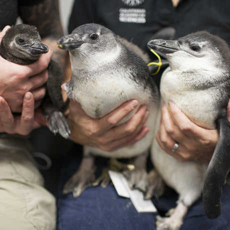 Three African penguin chicks held by biologists
