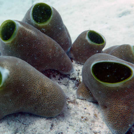 Strange-looking tunicates in Zanzibar