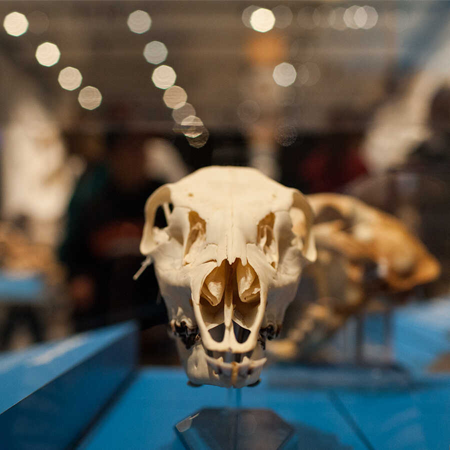 Head-on view of one skull in the Skulls exhibit.