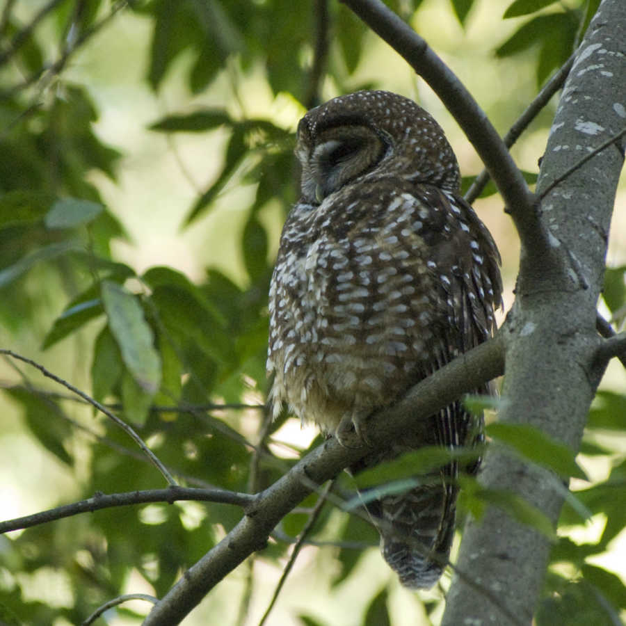 Northern spotted owl; © Jack Dumbacher