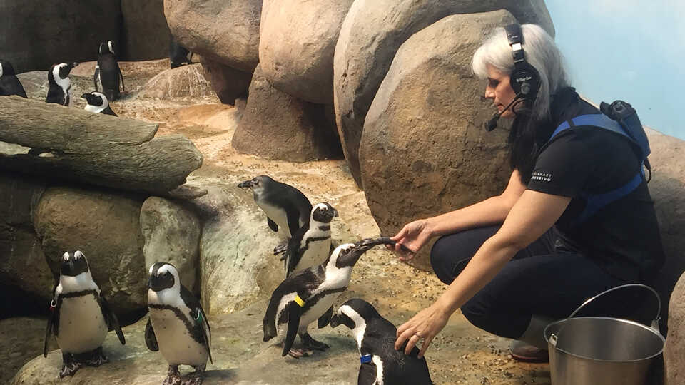 Aquarium curator Vikki McCloskey feeds colony of African penguins at the Academy