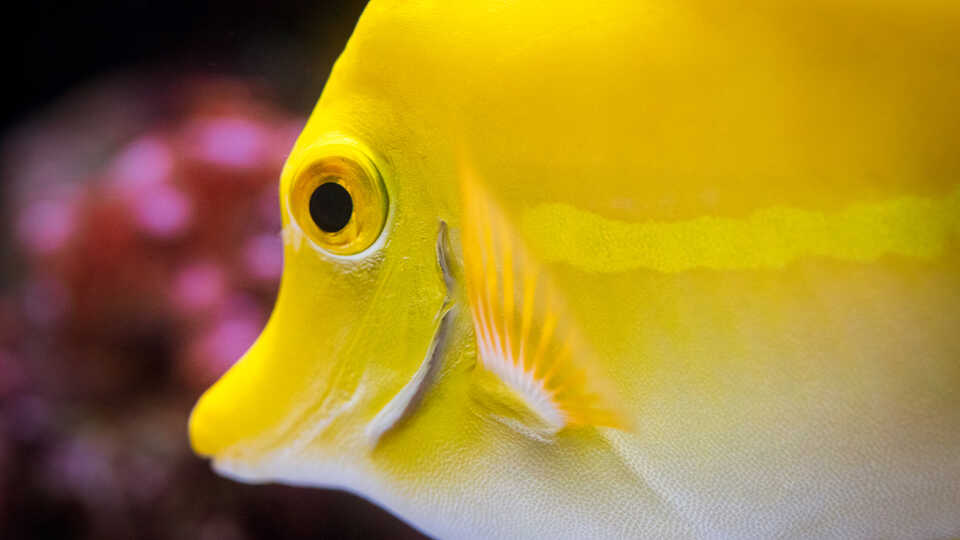 Extreme close-up of yellow tang fish