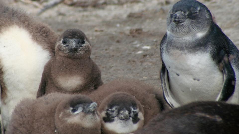 African penguin chicks