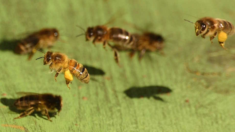 honey bees over a leaf