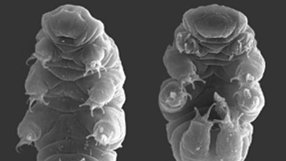 tardigrades, Rpgch/Wikipedia