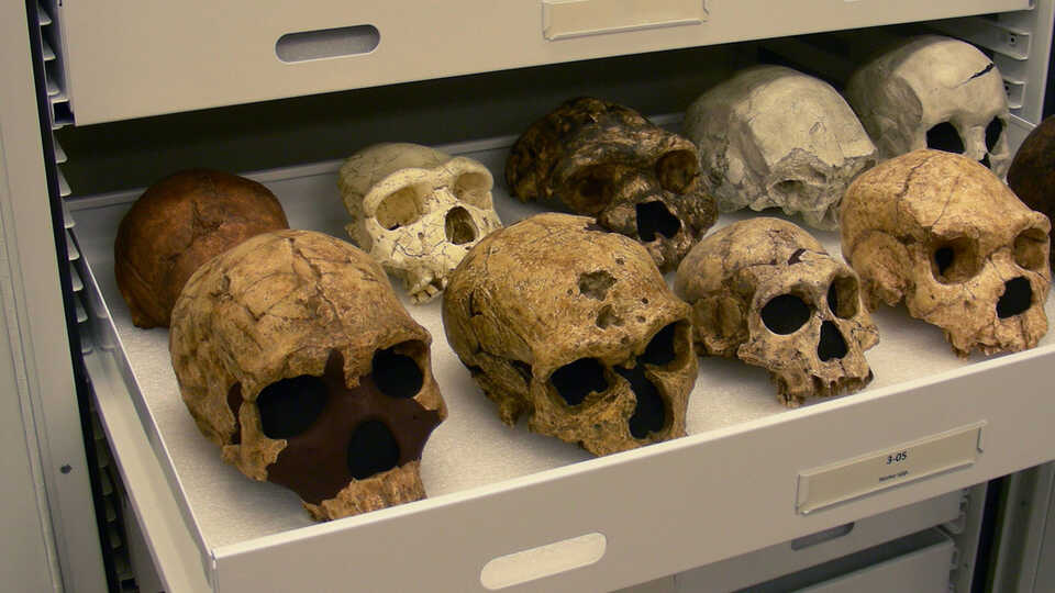 Hominin Cast Collection at the California Academy of Sciences