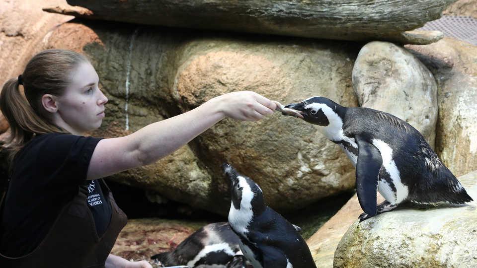 Biologist feeding penguin