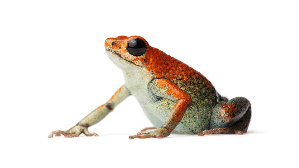 Brightly colored orange frog with hints of blue and gold.