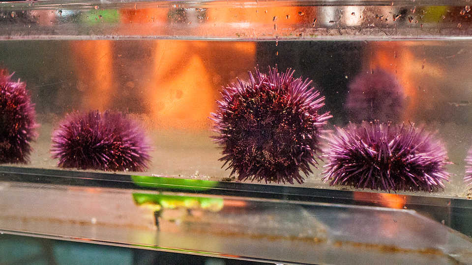 A quartet of purple sea urchins in the Discover Tidepool touch tank.