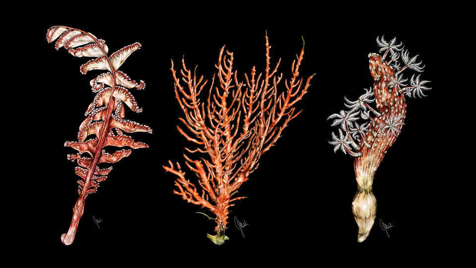 Drawings of marine plant life.