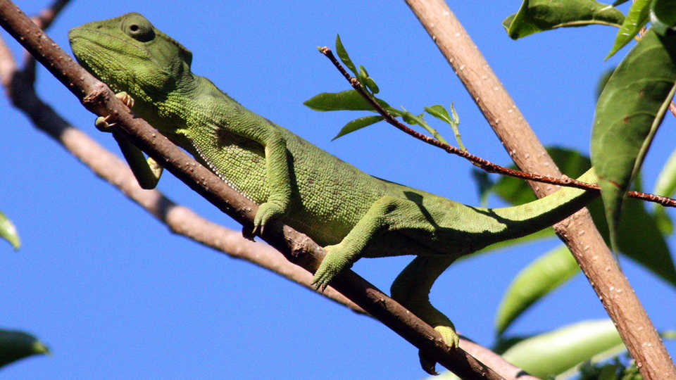 Oustalet's Chameleon, Furcifer oustaleti By Charlesjsharp (Own work) [CC-BY-SA-3.0 (http://creativecommons.org/licenses/by-sa/3.
