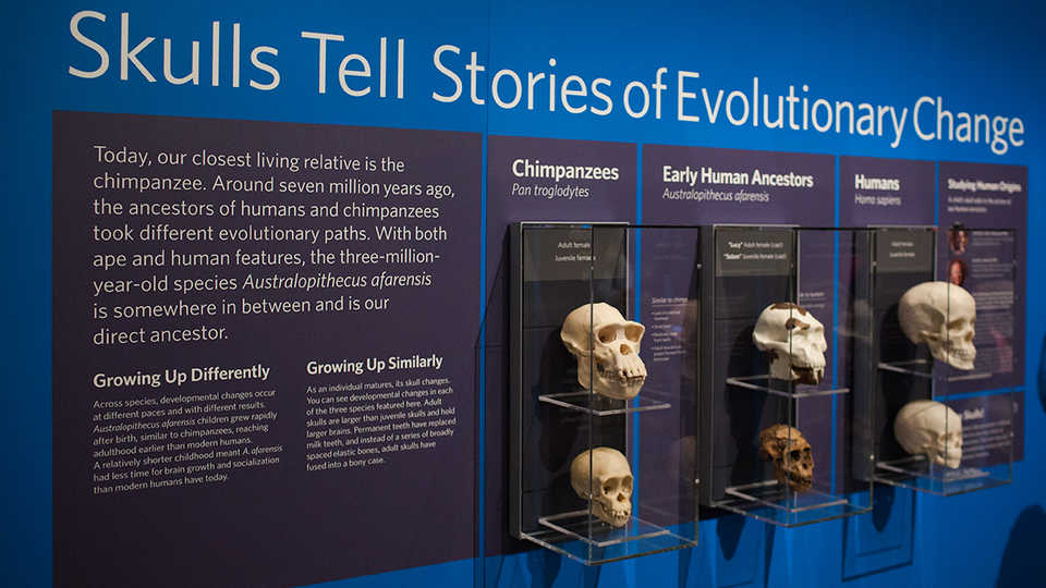View of the Human Origins station in the Skulls exhibit, where visitors compare the skulls of our distant ancestors.