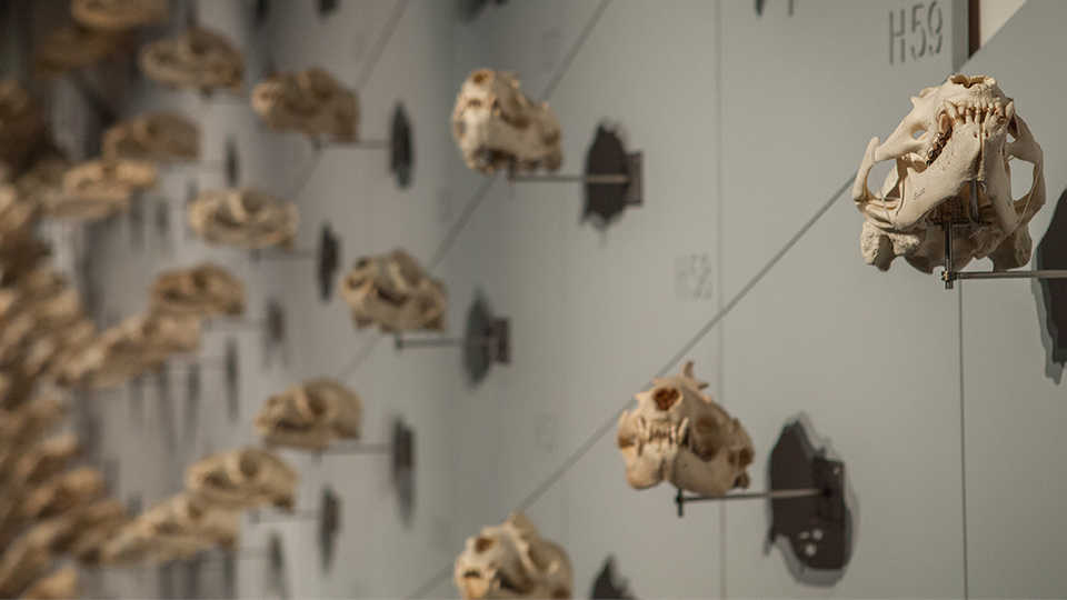 "Sweeping view of the 400 sea lion skulls adorning the 90-foot-long ""Sea of Skulls"" wall."
