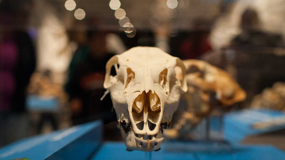 Head-on view of one skull in the Skulls exhibit.