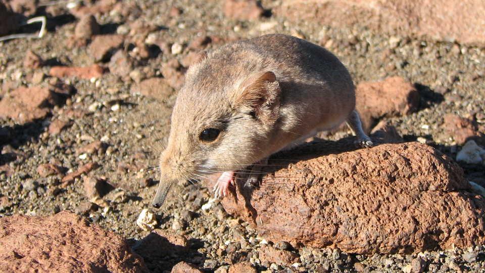 The Etendeka round eared sengi in Namibia