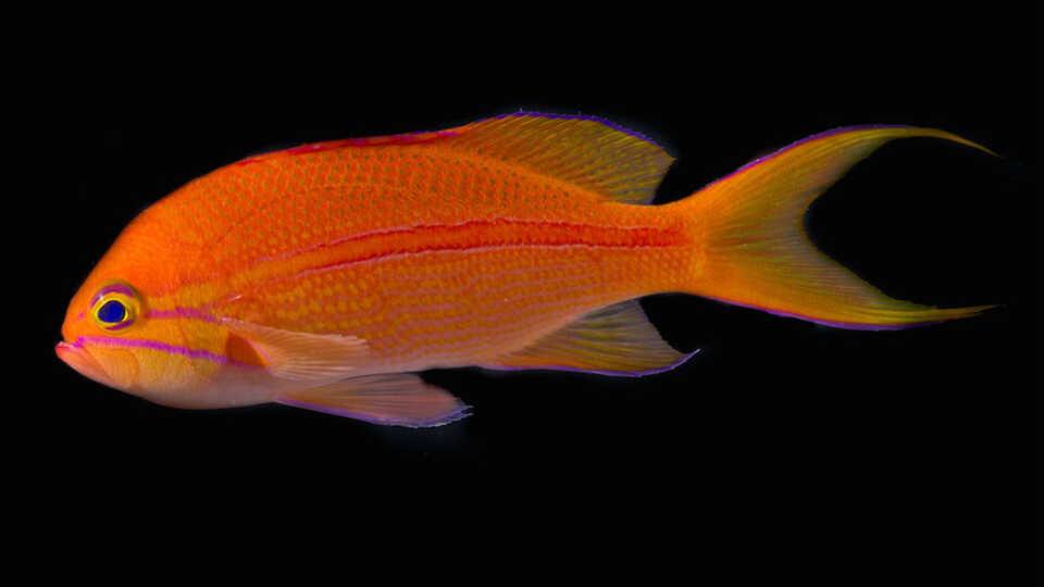 Pseudanthias fasciatus