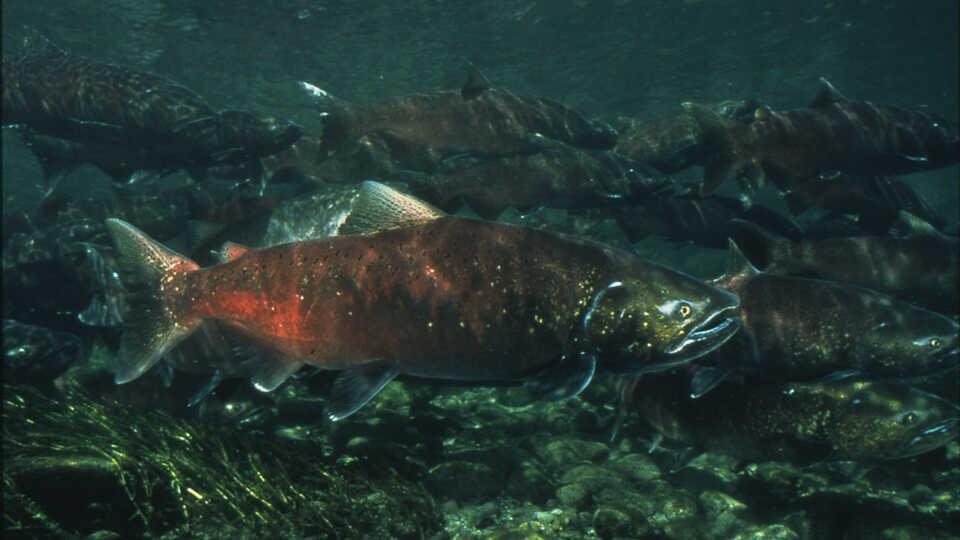 photo of salmon