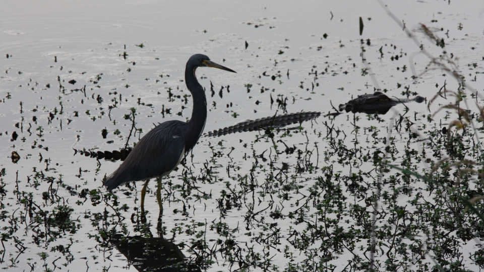 Heron-alligator relationship