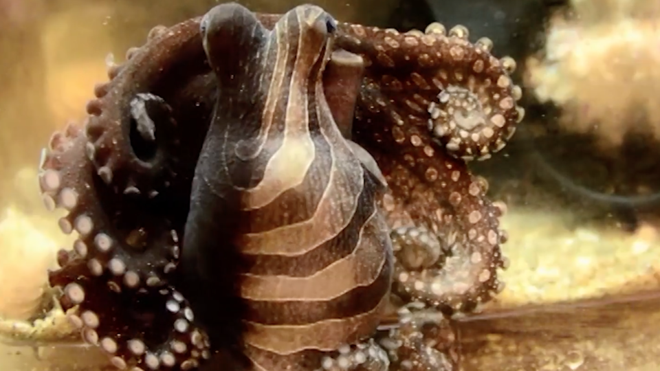 The unusual coloration of the larger Pacific striped octopus