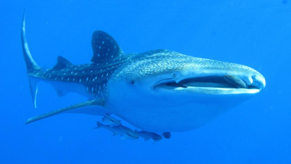 Whale shark in the Red Sea, Derek Keats/Wikipedia