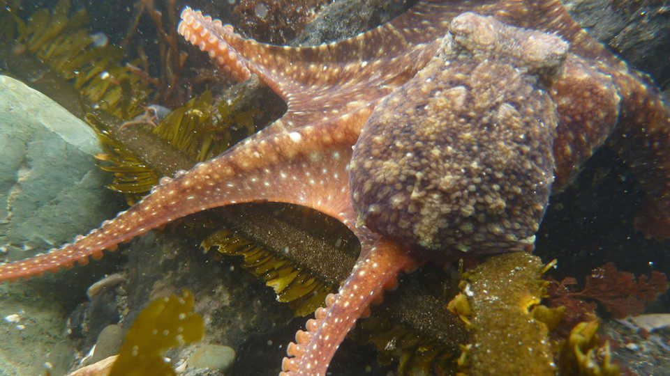 East Pacific Octopus at Pillar Point, Alison Young/iNaturalist