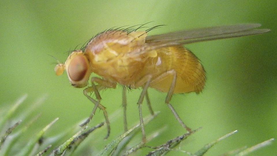 fruit fly, public domain