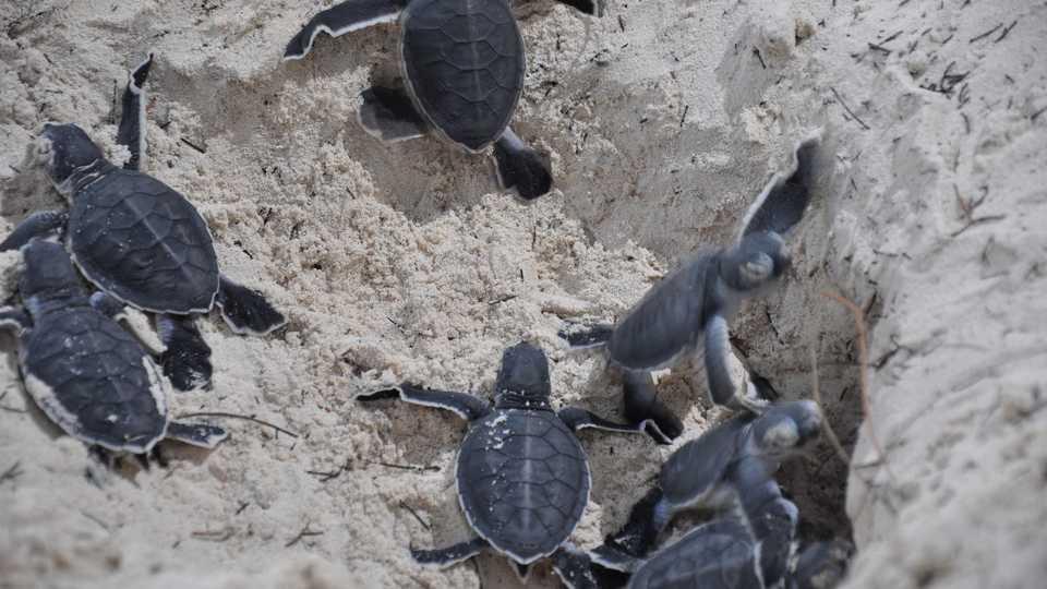 Hatching green sea turtles, Meagan/Flickr